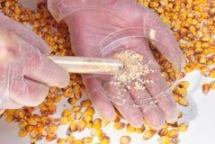 Mais und Maispuder in einem Reagenzglas Lizenzfreie Stockfotos