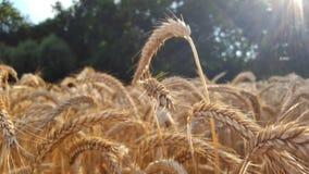 Mais und Sonne Stockbild