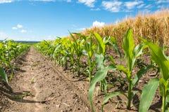 Mais und Weizen Stockbild