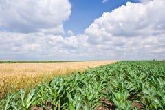 Mais- und Weizenfeld Stockfotografie