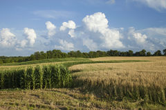 Mais- und Weizenfelder in Minnesota am hellen Sommertag Lizenzfreie Stockbilder