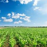 Mais verde nel campo di agricoltura e cielo blu con le nuvole Fotografia Stock