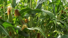 Mais wächst auf dem Gebiet stock video footage