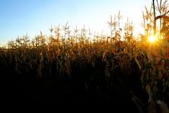 Mais-wachsende Stiel-Pfeiler-Kerne bereit zur Ernte lizenzfreie stockfotos
