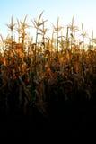 Mais-wachsende Stiel-Pfeiler-Kerne bereit zur Ernte stockfotografie