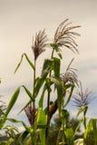 Maisanlagen, die durch den Wind durchgebrannt werden lizenzfreie stockfotos