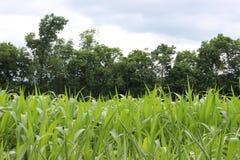 Maisbauernhof stockbild