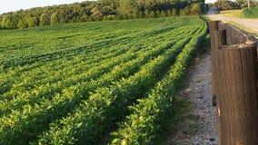 Maisbauernhof erntet mittleres Sommergrünfeld mit Bäumen mit blauem Himmel Stockfoto