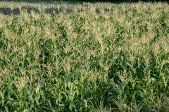 Maisbauernhof, Landwirtschaft Lizenzfreies Stockfoto
