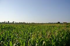 Maisbauernhof sieben stockfoto