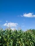 Maisbaumgrünblatt und -himmel stockfotos