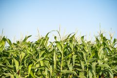 Maisblütenstaub im Getreidefeld stockfotografie