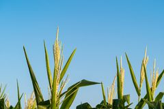 Maisblütenstaub im Getreidefeld stockfotos