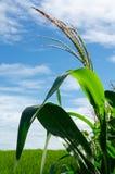 Maisblume auf dem Maisgebiet auf Berg am vollen Tag Lizenzfreie Stockbilder