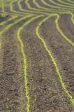 Maiseintragfäden in den Reihen Stockfotos