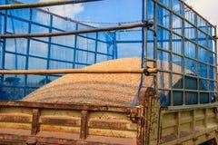 Maisernte auf Ackerland Stockbilder