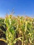 Maisernte, getrocknetes Feld bereit, mit Sonnenlichtstrahl zu ernten Stockbild