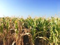 Maisernte, getrocknetes Feld bereit, mit Sonnenlichtstrahl zu ernten Stockfotos