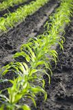 Maisfeld. Detail of a cornfield in the sun Royalty Free Stock Photos