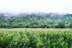 Maisfeld auf dem Berg Stockbild
