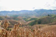 Maisfeld auf dem Hügel Stockbild