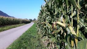Maisfeld entlang dem Fahrradweg Stockbild