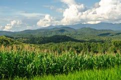 Maisfeld im Ackerland auf Hochebene, Thailand Stockfotografie