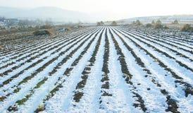 Maisfeld im Winter Stockfotografie