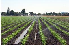 Maisfeld mit Bewässerung Stockfoto