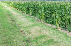 Maisfeld mit Bewässerungsabzugsgraben lizenzfreie stockfotografie