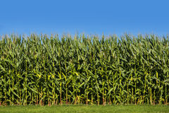 Maisfeld mit blauem Himmel Lizenzfreies Stockbild