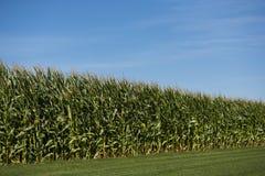 Maisfeld mit blauem Himmel Lizenzfreies Stockfoto
