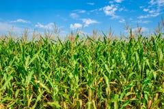 Maisfeld mit blauen Himmeln Organisches Landwirtschaftsgrünblatt Lizenzfreie Stockbilder