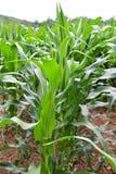 Maisfeld mit dem Maisgrünwachsen Stockfotos