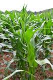 Maisfeld mit dem Maisgrünwachsen Lizenzfreies Stockbild