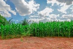 Maisfeld mit dem Maisgrünwachsen Stockfotografie