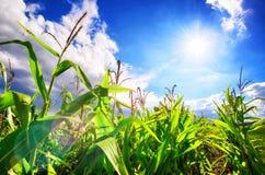 Maisfeld mit der Sonne, dem blauen Himmel und dem schönen Blendenfleck Stockbild