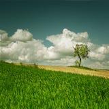 Maisfeld mit einsamem Baum Lizenzfreie Stockbilder