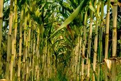 Maisfeld mit Himmelhintergrund Lizenzfreie Stockbilder