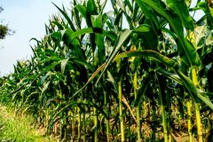 Maisfeld mit Himmelhintergrund Lizenzfreies Stockbild