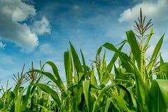 Maisfeld mit Himmelhintergrund Stockbild