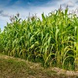 Maisfeld mit Himmelhintergrund Stockfotos