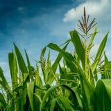 Maisfeld mit Himmelhintergrund Stockbilder