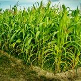 Maisfeld mit Himmelhintergrund Stockfotografie