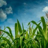 Maisfeld mit Himmelhintergrund Lizenzfreie Stockfotos