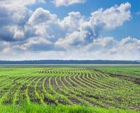 Maisfeld mit jungen Stielen gegen den Himmel mit Wolken Lizenzfreies Stockfoto