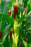 Maisfeld mit Maiskörnern Stockbild