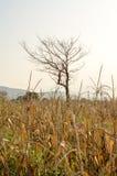 Maisfeld mit trockenem Baum bei Sonnenuntergang Stockfoto