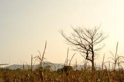 Maisfeld mit trockenem Baum bei Sonnenuntergang Lizenzfreie Stockfotos