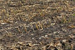 Maisfeld nach der Ernte Stockbilder